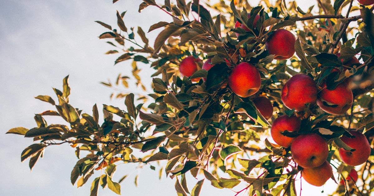 Die Geschichte des Apfels und des Apple Pie